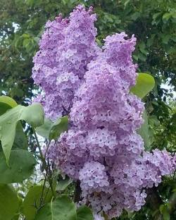 Lilacs for Mother's Day