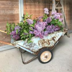 wheelbarrow Lilacs